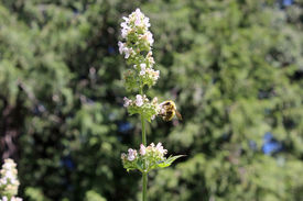 picture of catnip  - Flowering catnip plant being pollinated by a busy bee - JPG