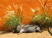 Pig Nap