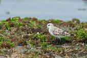 Sanderling Standing On Seaweed Covered Rocks At Low Tide