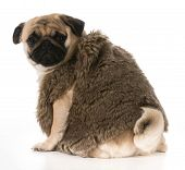 pug wearing fur coat looking over shoulder isolated on white background