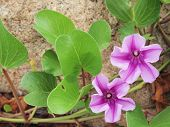 stock photo of ipomoea  - some Ipomoea flowers blossom on the beach - JPG