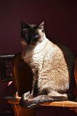 Sitting Shiba