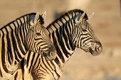 Portrait of two Plains (Burchells) Zebras (Equus burchelli), Etsosha National Park, Namibia