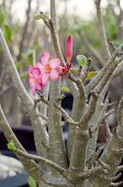 foto of desert-rose  - Adenium or desert rose flower blooming on bunch - JPG