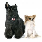Scottish Terrier And Chihuahua