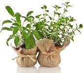 Young fresh vegetable herbs sprout seedling in brown terracotta pot isolated on white background