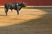 image of bullfighting  - A bull in a typical Spanish bullfight Badajoz Spain