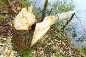 Tree taken down by beaver on a bank Radbuza River off Pilsen City. Czech Republic - Europe