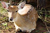Axis Deer