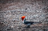 Red-crested Cardinal Holding Food
