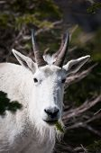 Mountain Goat With Pine Spring In The Mouth