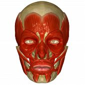 image of facials  - The facial muscles are a group of striated skeletal muscles innervated by the facial nerve  - JPG