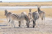 Zebras Licking Salt At Etosha Pan, Namibia