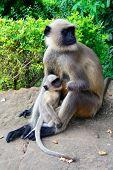 black face monkey nourishing her baby