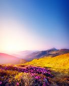 picture of wild adventure  - Magic pink rhododendron flowers on summer mountain - JPG