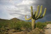 Saguaro Cactus with Storm Clouds Overhead