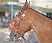 picture of blinders  - close up of a horse with blinders