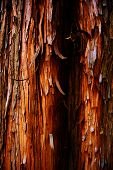 Tree bark of a cypress tree, Chamaecyparis obtusa (Japanese cypress, hinoki cypress,  hinoki)