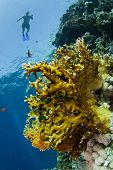 picture of fire coral  - brown fire coral in a tropical sea