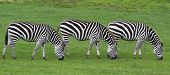 picture of zebra crossing  - zebra - JPG