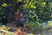 Red Deer Stag In Ferns Wearing Leaves