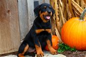 Rottweiler puppy sitting beside pumpkin