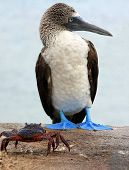 foto of booby  - Taken on the Galapagos Islands  - JPG