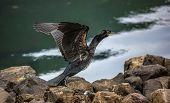 Great Cormorant In Seydisfjordur5