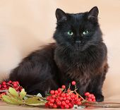 image of mountain-ash  - Black fluffy cat lies on yellow background next to the berries of mountain ash - JPG