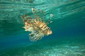 picture of lion-fish  - Lion Fish isolated on blue - JPG