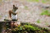 foto of bethlehem  - A red squirrel sitting on a mossy stump - JPG