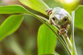 stock photo of sneak  - Australian Green Tree Frog sneaking on a plant - JPG