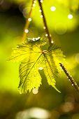 Rain drops on grape leaves