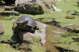 picture of terrapin turtle  - The red - JPG