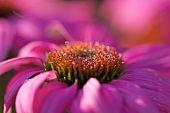 Echinacea Purpurea Closeup