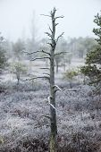 picture of frostbite  - lonely tree in frosty winter bog with frozen nature - JPG