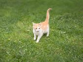 Young Kitty Walking On Green Field