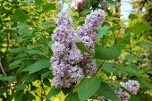 Branch Of Blossoming Purple Lilac