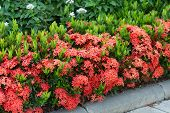 stock photo of plant species  - Red Ixora coccinea hedge is a species of flowering plant in the Rubiaceae family - JPG