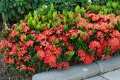 pic of plant species  - Red Ixora coccinea hedge is a species of flowering plant in the Rubiaceae family - JPG