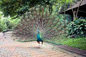 Peacock in Kuala Lumpur Bird Park