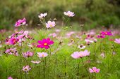 Cosmos Flower In Garden