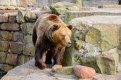 picture of zoo  - Big Brown Bear in the zoo park - JPG