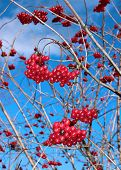 Bright Red Berries Of Viburnum On The Branches
