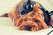Cute Dog Listen To Music