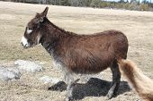 picture of burro  - Dark brown Donkey in a field in early spring - JPG