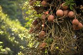 Couroupita guianensis known as cannonball tree