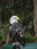 Bald Eagle ( Haliaeetus Leucocephalus)