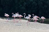 picture of greater  - Greater Flamingoes at the Ras al Khor Wildlife Sanctuary in Dubai United Arab Emirates - JPG