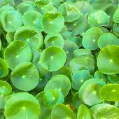 Asiatic Pennywort  Is A Plant That Indicated In The Treatment Of Diseases